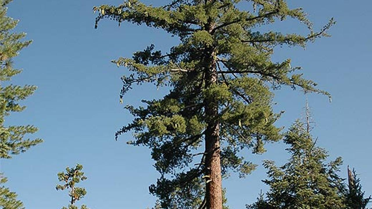 Tall pIne tree in a forest