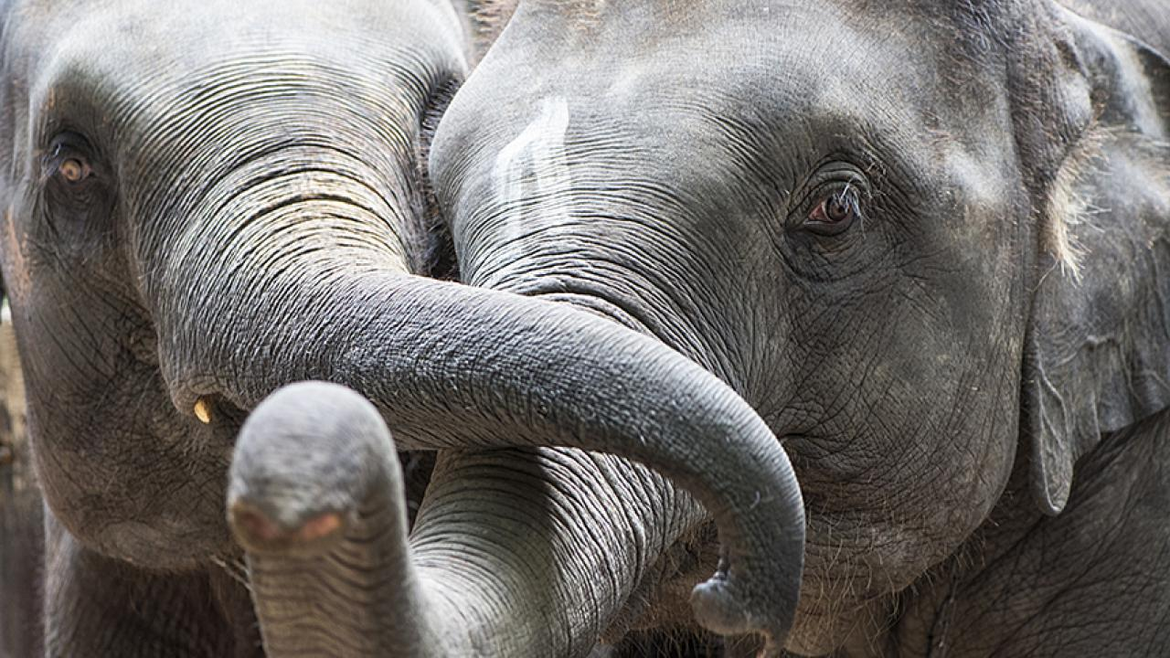 Two elephants with trunks entwined
