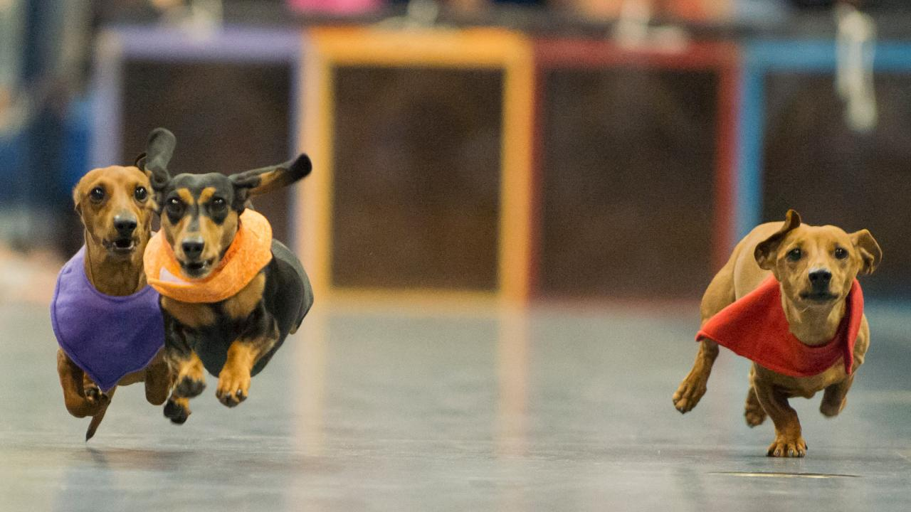 Three dachshunds in a Doxie Derby race, 2013