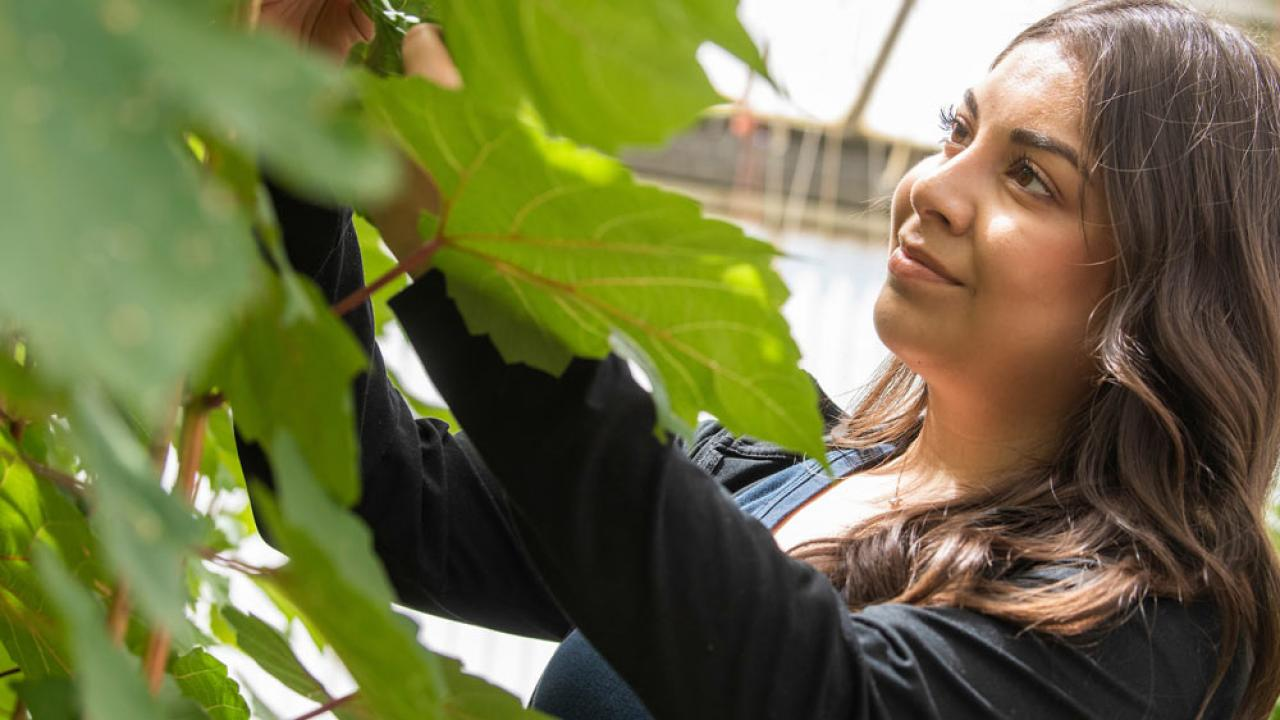 A Plant Biology student investigates the leaves of a greenhouse plant