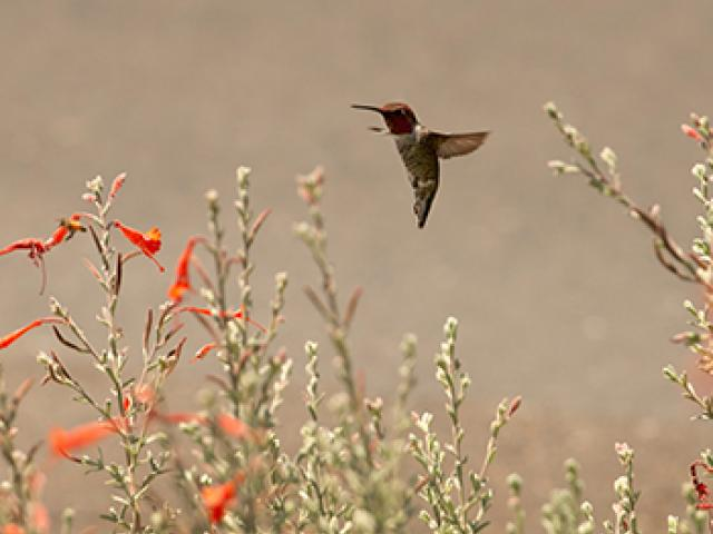 a hummingbird flutters above a bunch of flowers along the uc davis arboretum