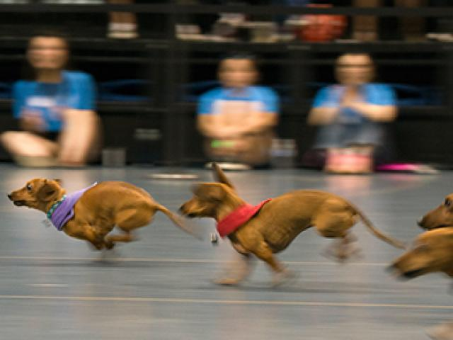 dachshunds race for the finish line at uc davis picnic day
