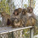 Group of rhesus macaque monkeys.