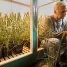 Man sits in front of lighted chamber filled with potted wheat plants and examines one plant.