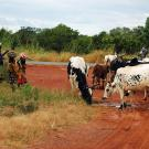 Villagers and cattle on dirt road