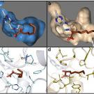 The images on the left show the key molecule in enzyme KIVD, part of a metabolic pathway in E. coli that transforms sugars into short-chain alcohols, while the images at right show the same molecule, but in a different enzyme and configuration.
