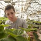 Male student examines large-leafed strawberry plants in a campus greenhouse