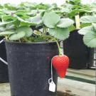 A single red strawberry, with white tag, hangs from a green-leafed strawberry plant that is planted in a black plastic pot.