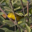 Yellow warbler in a bush