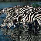 Many zebras drinking from a river