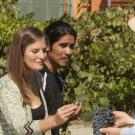 uc davis viticulture and enology majors taste grapes together in vineyard
