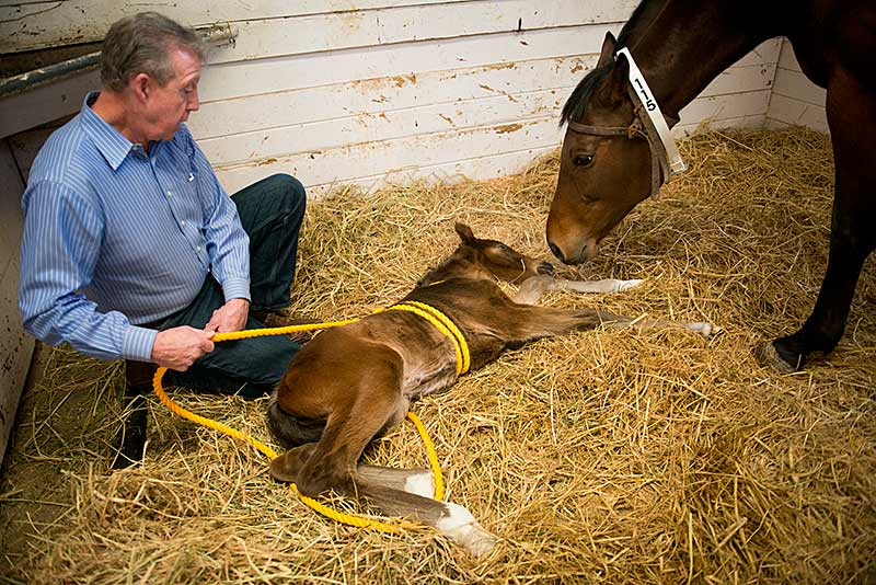Veterinarian John Madigan holding rope with foal on ground and mare sniffing its head