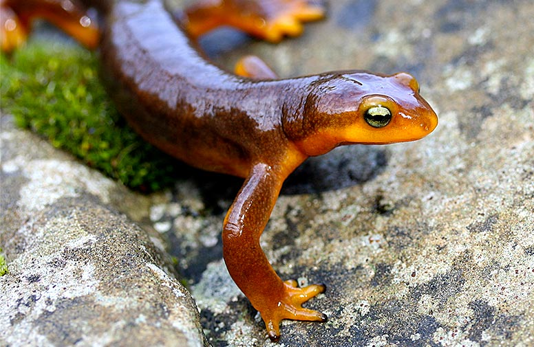 Closeup of a California newt