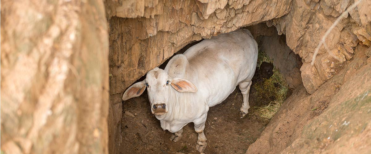Braha cow in a hole looking up