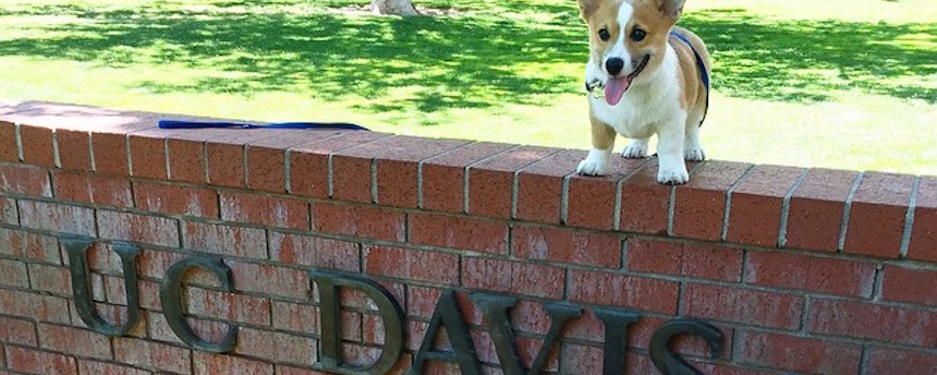 Corgi standing on top of a brick wall saying 'UC Davis'