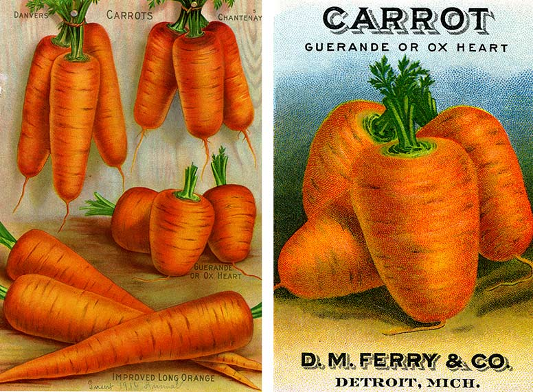 An illustration with three carrots and a seed packet showing the carrots