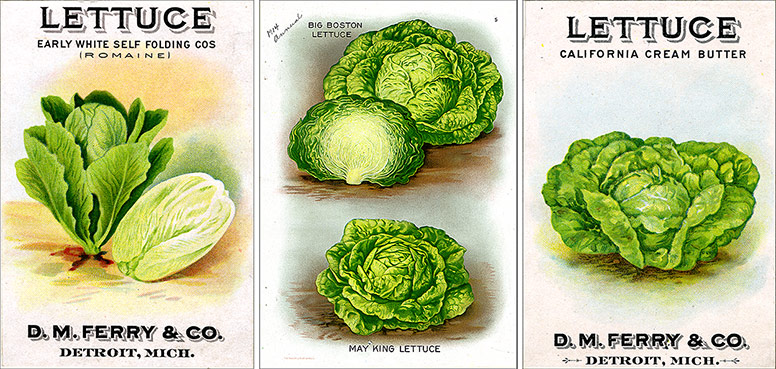 two seed packets of lettuce with lectuce  illustration in the center
