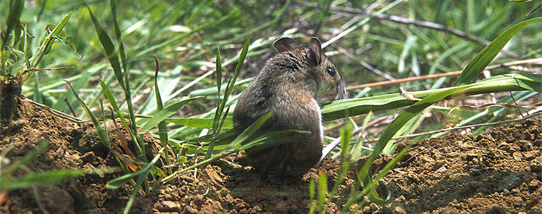 Deer mouse in the grass