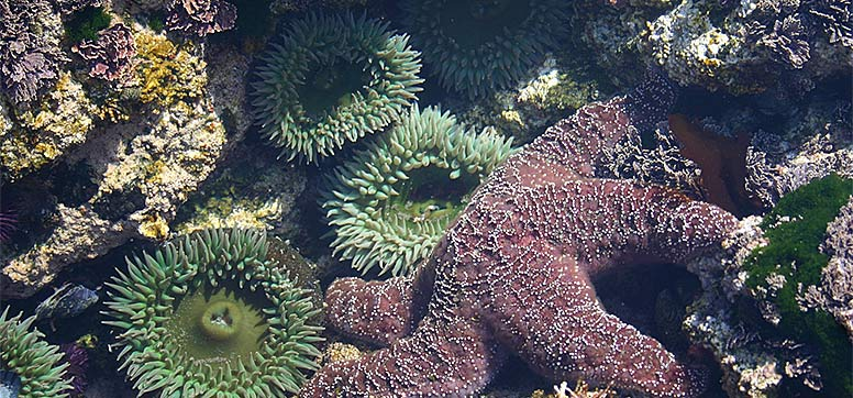 Tide pool with sea stars and sea anemones