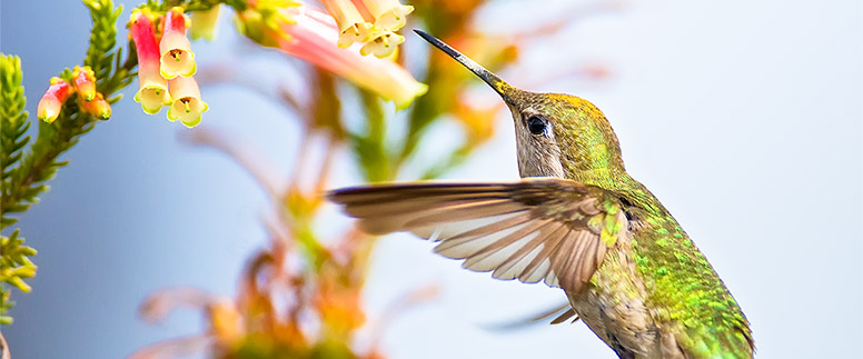 Hummingbird flying toward a bird feeder