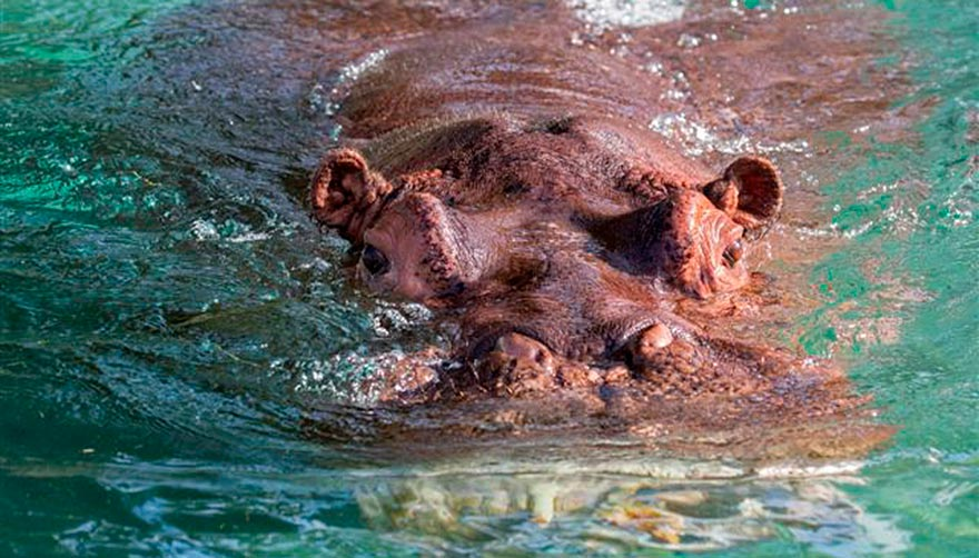 Hippo mostly submerged