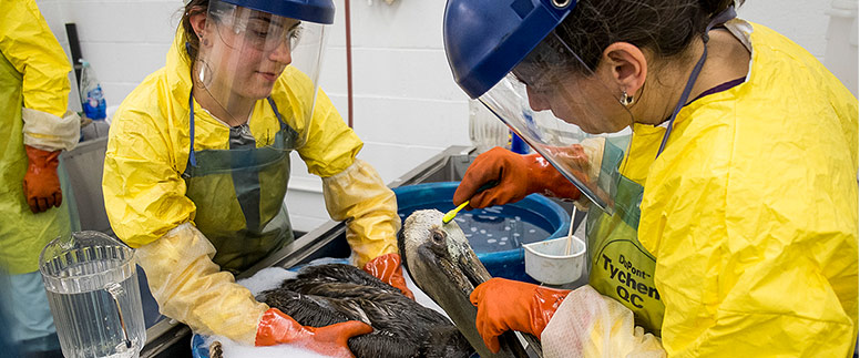 Two women in slickers and plastic masks clean a pelican in a basin