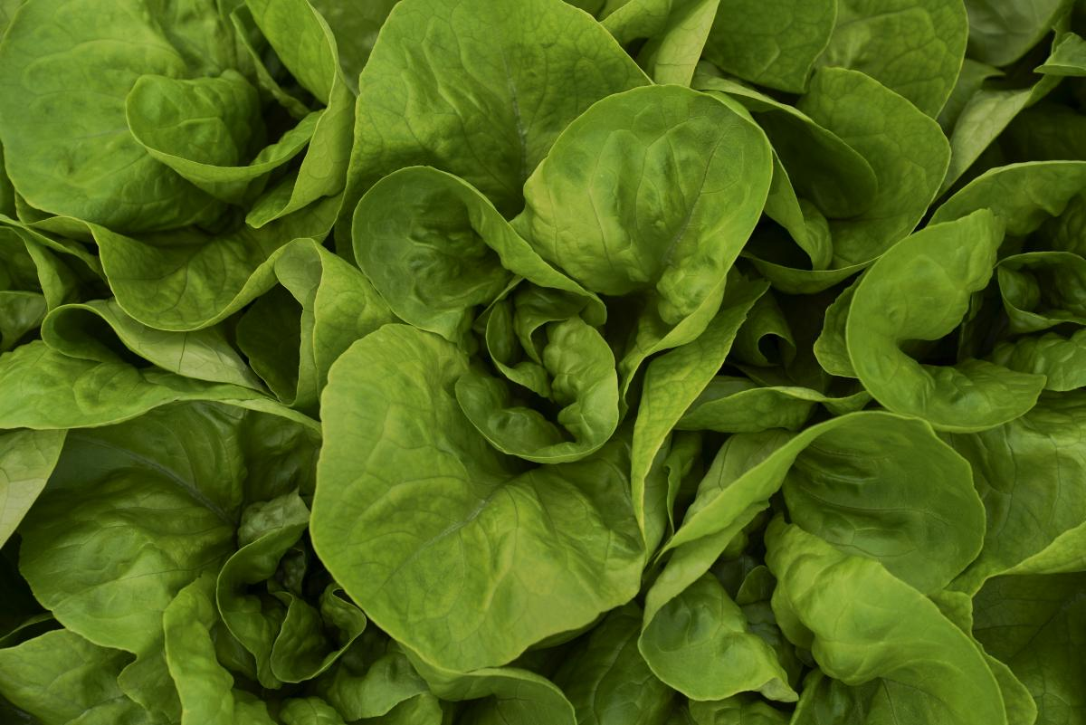 Thousands of heads of butter lettuce are grown inside a greenhouse, fertilized by fish waste byproducts from a nearby aquaculture system.