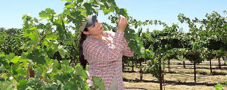 Cindy Preto inspecting a grape vine
