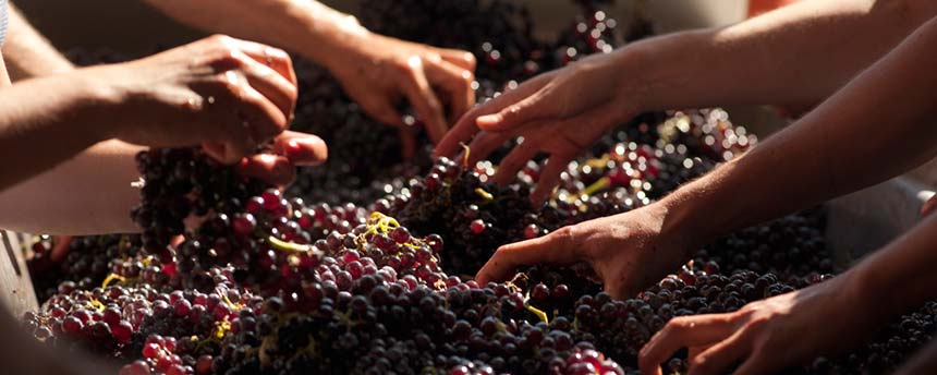 hands reaching into grapes during wine crush