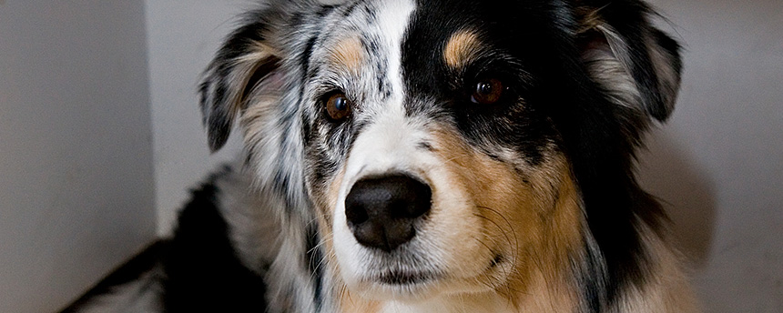 Portrait of an Australian sheepdog