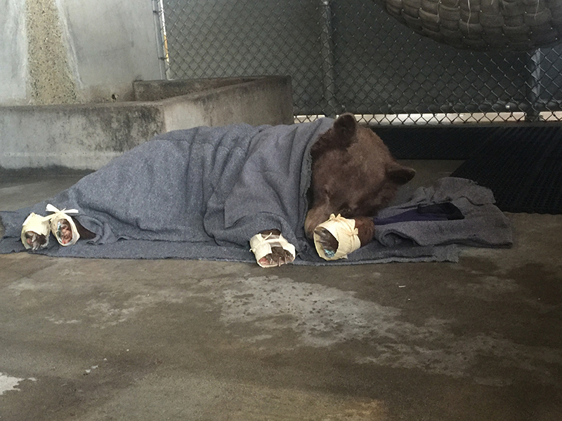 Bear rests in holding pen