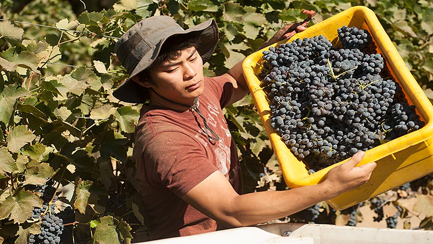 Man in vineyard lifts tub of wine grapes