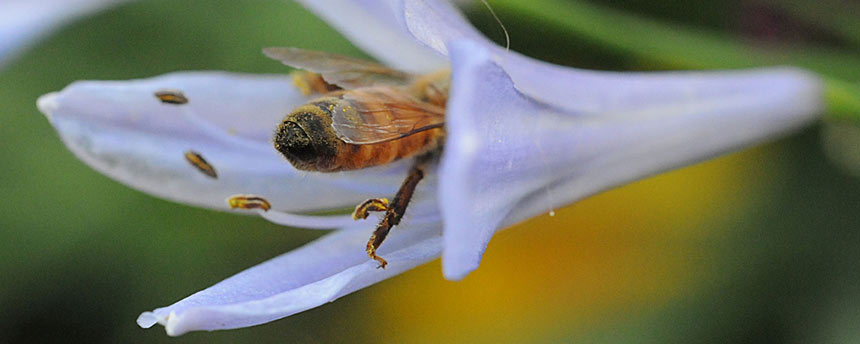 Honey bee goes into trumpet flower