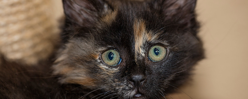 Portrait of a brindle-colored kitten