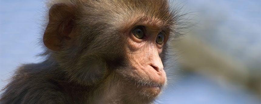 Juvenile rhesus monkey portrait