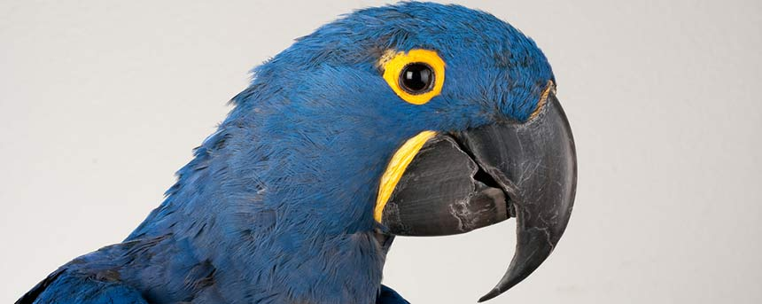 A blue parrot upclose