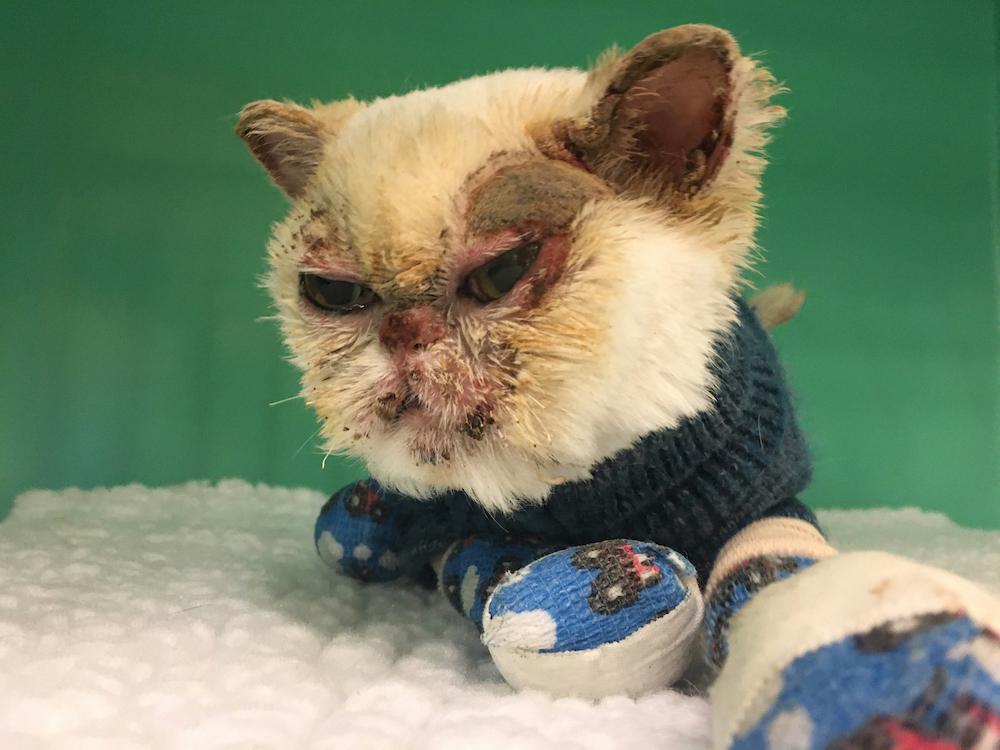 cats burned in wildfire