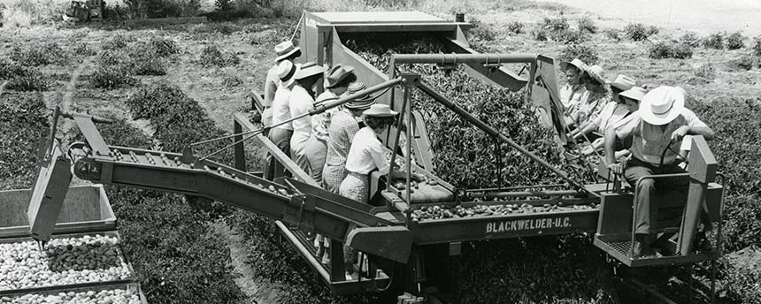 Women and men on a tomato harvester in the 1960s